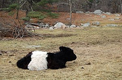 A pasture on Pond Street in Hopkinton with sheep, a llama, and this cow have acres to roam. Photo By Taylor Bush